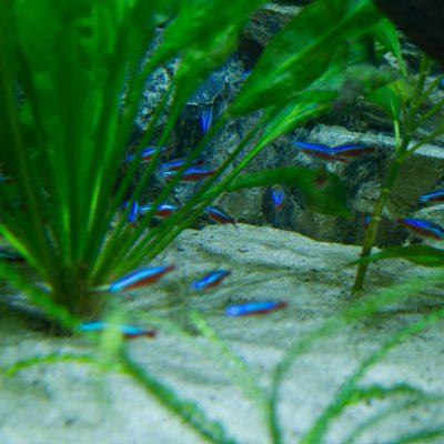 Discus show aquarium met Neontetra