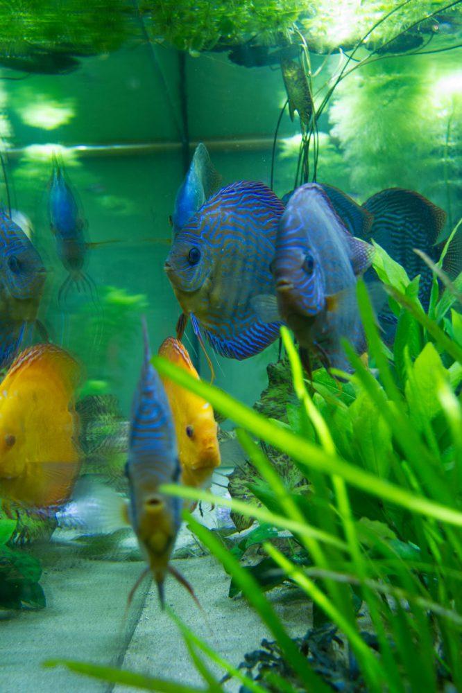 Show aquarium met Stendker discusvissen: Red Turquoise, Malboro Red