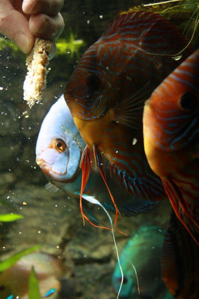 Show aquarium met Stendker discusvissen: Cobalt Blue, Red Turquoise discusvissen krijgen eten
