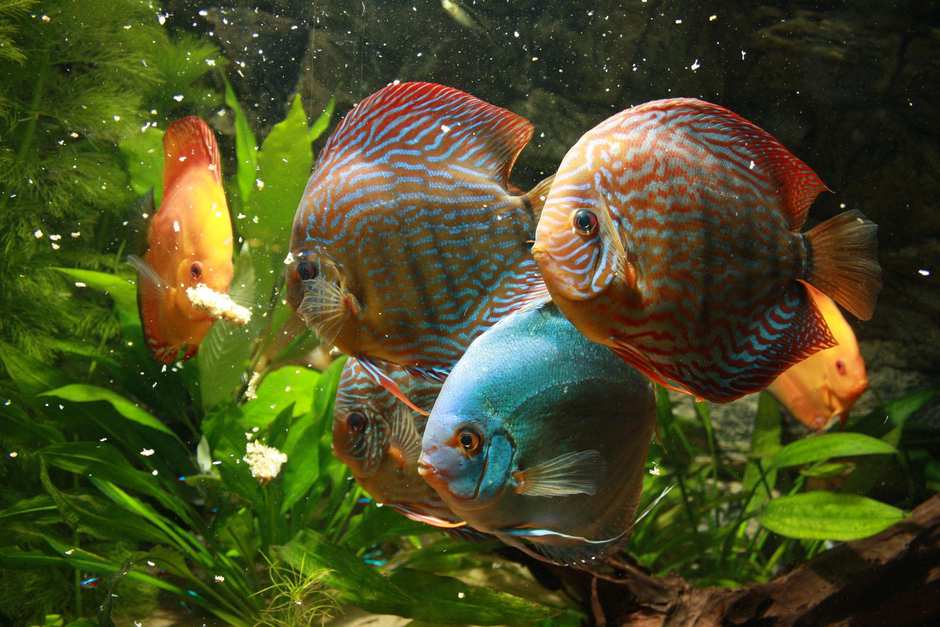 Show aquarium met Stendker discusvissen: Malboro Red, Red Turquoise, Vlak Turquoise eten discusmix