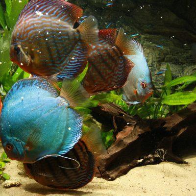 Show aquarium met Stendker discusvissen eten: Malboro Red, Red Turquoise , Vlak Turquoise