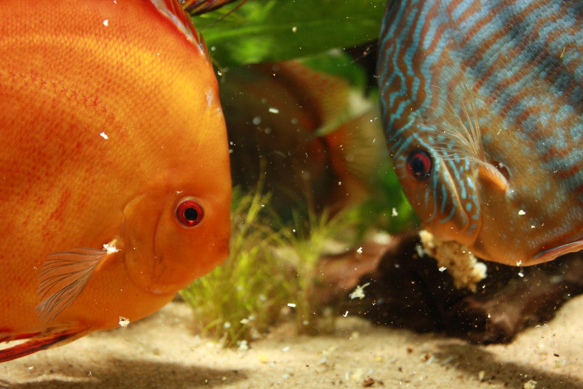 Show aquarium met Stendker discusvissen eten: Malboro Red, Red Turquoise