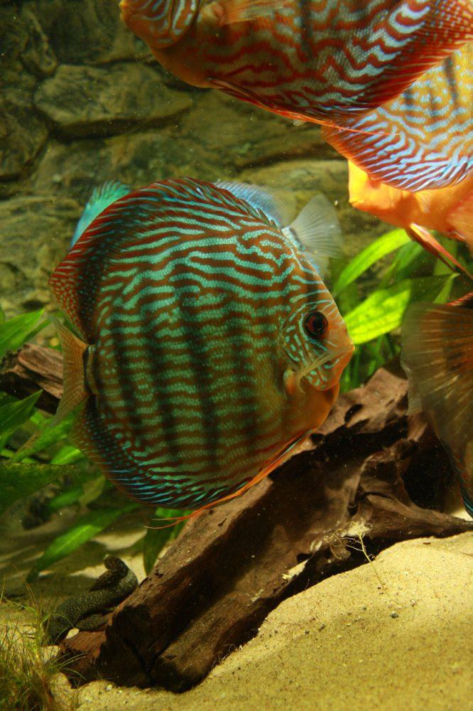Show aquarium met Stendker discusvissen: Red Turquoise discusvis