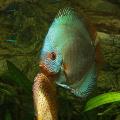 Show aquarium met Stendker discusvissen: Vlak Turquoise, Pigeon Snake Skin