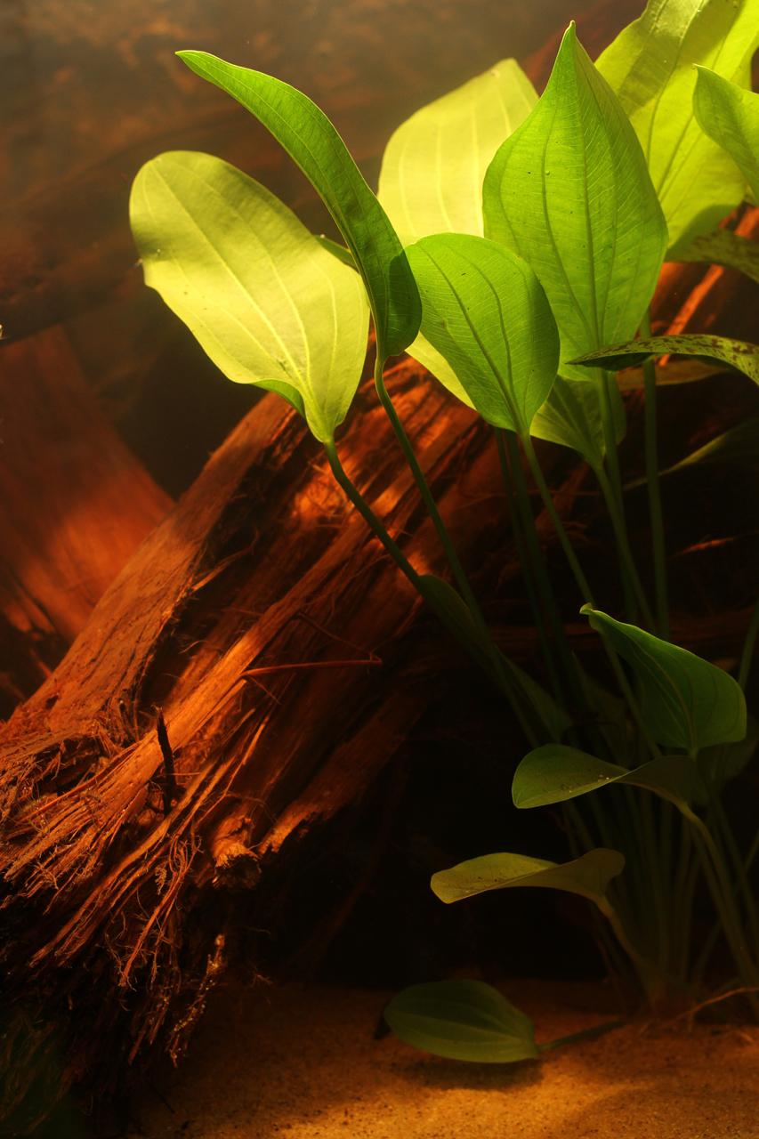 Aquarium fotografie voorbeeld foto: Aquariumplanten