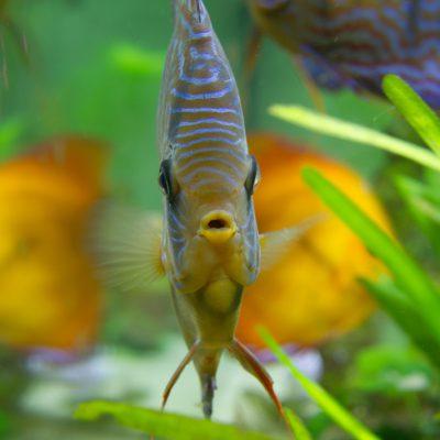 Aquarium fotografie voorbeeld foto: Vooraanzicht discusvis