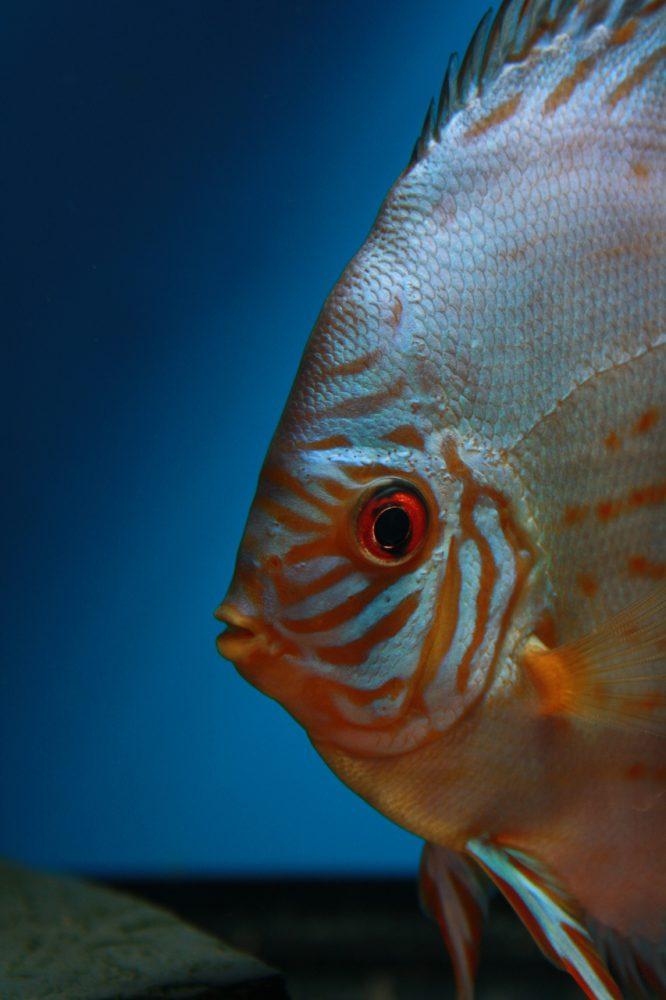 Aquarium fotografie voorbeeld foto: De ogen staan scherp op beeld