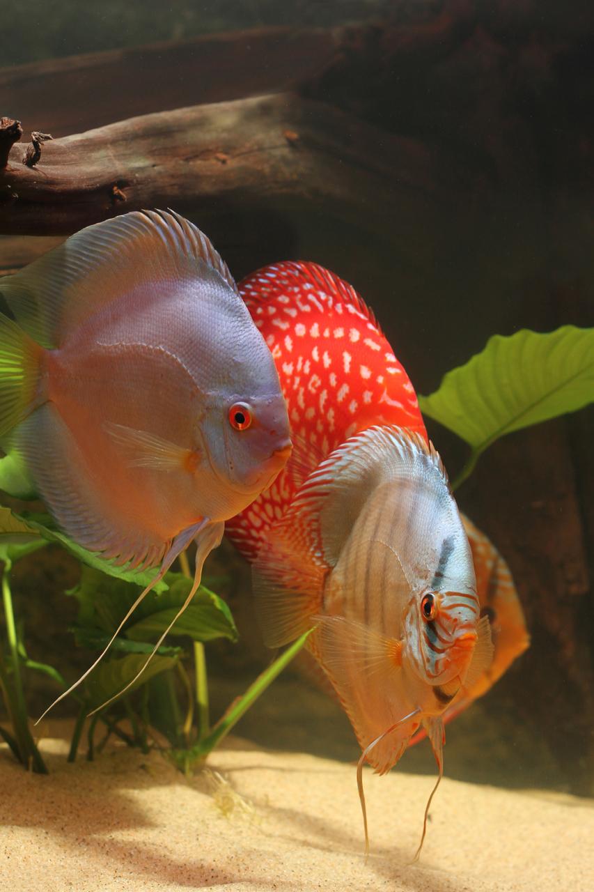 Aquarium fotografie voorbeeld foto: Stendker - Kobalt Blue, Pigeon Checkerboard