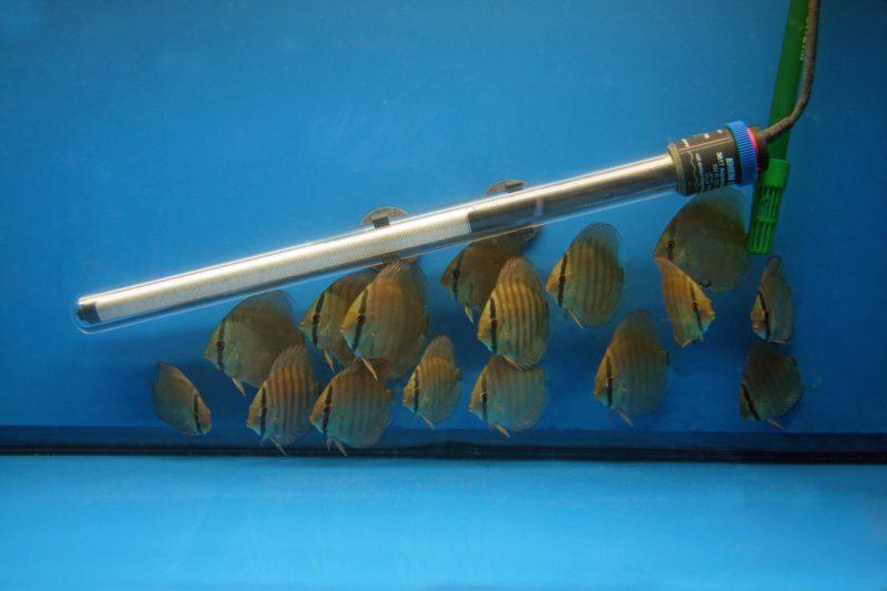 Aquarium fotografie voorbeeld foto: Deze visje gebruiken de verwarming als schuilplaats.