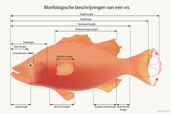 Hoe meet je de grote van de (aquarium)vis