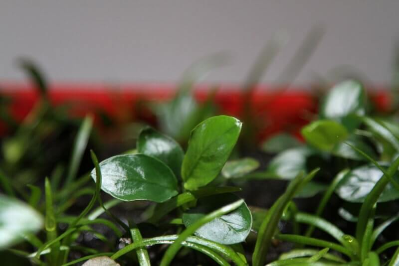 Afbeelding: Herstelde waterplanten in kweekbakje