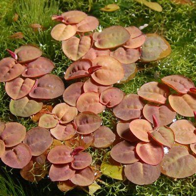 Afbeelding: Phyllanthus fluitans