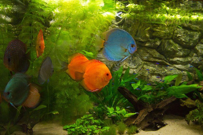 Afbeelding: Discusvissen onder gematigd licht.
