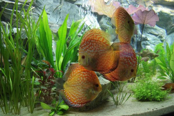 Aquariumplanten voor een discus aquarium