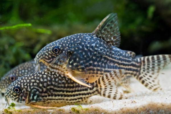 Top 5 bijvissen voor een (discus)aquarium, maar anders geselecteerd!
